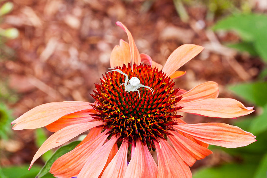 Flower Photograph - Itsy Bitsy Spider Walking On The Flower by Hasnain Shabbir