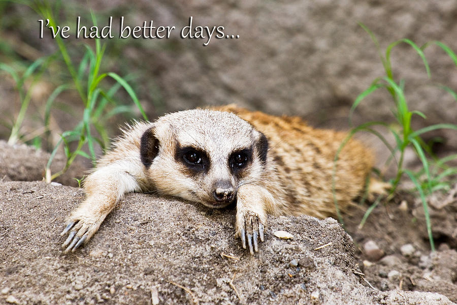 Meerkat Photograph - Ive Had Better Days by Jeff Abrahamson