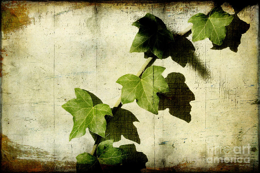 Ivy Photograph - Ivy by Ellen Cotton