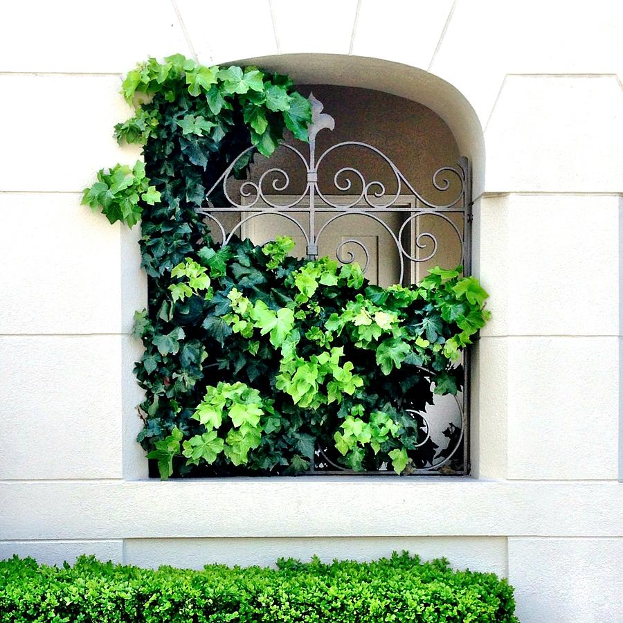 Ivy Photograph - Ivy by Julie Gebhardt