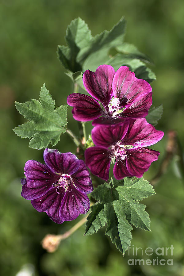 Hollyhock Photograph - Ivy-leafed Geraniums   by Joy Watson