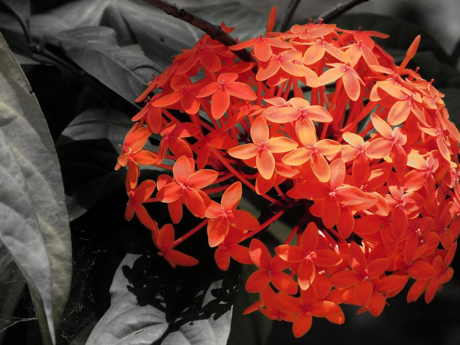 Ixora In Black Photograph by Daniel Chowdhury