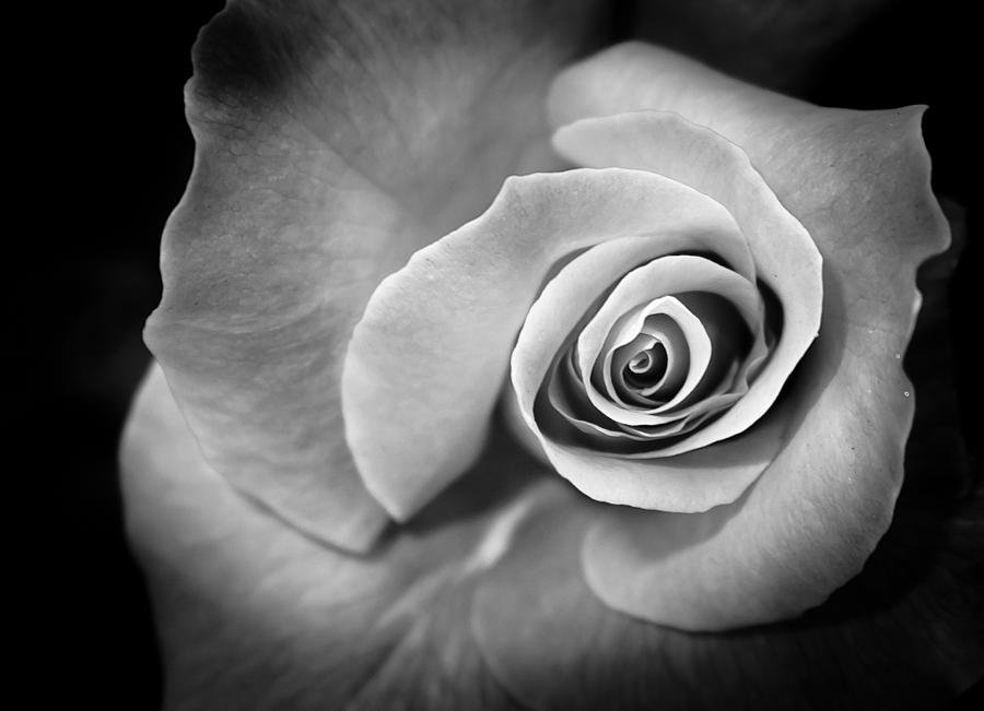 Rose Photograph - J Dia by David Forester