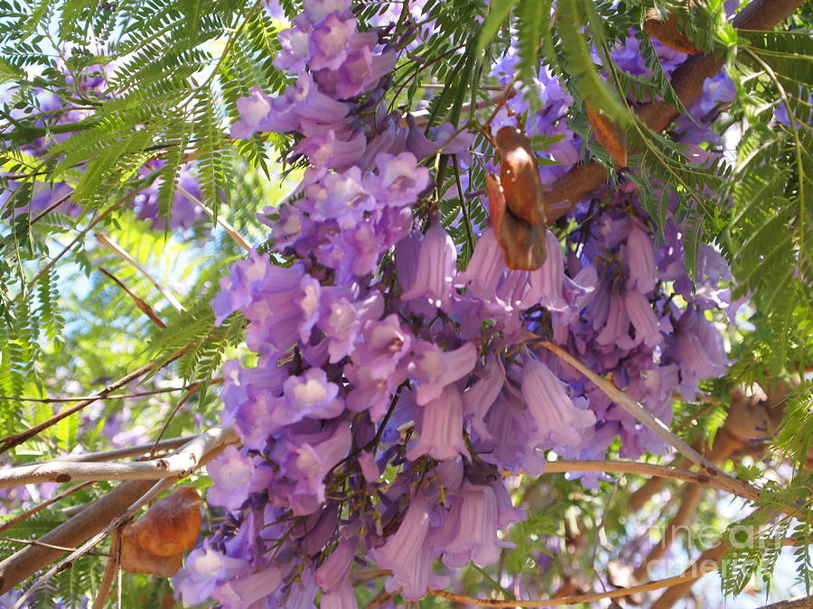 Flower Photography Photograph - Jacaranda Blossoms 2 by Nancy Kane Chapman