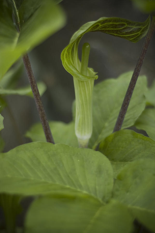 Jack In The Pulpit Photograph