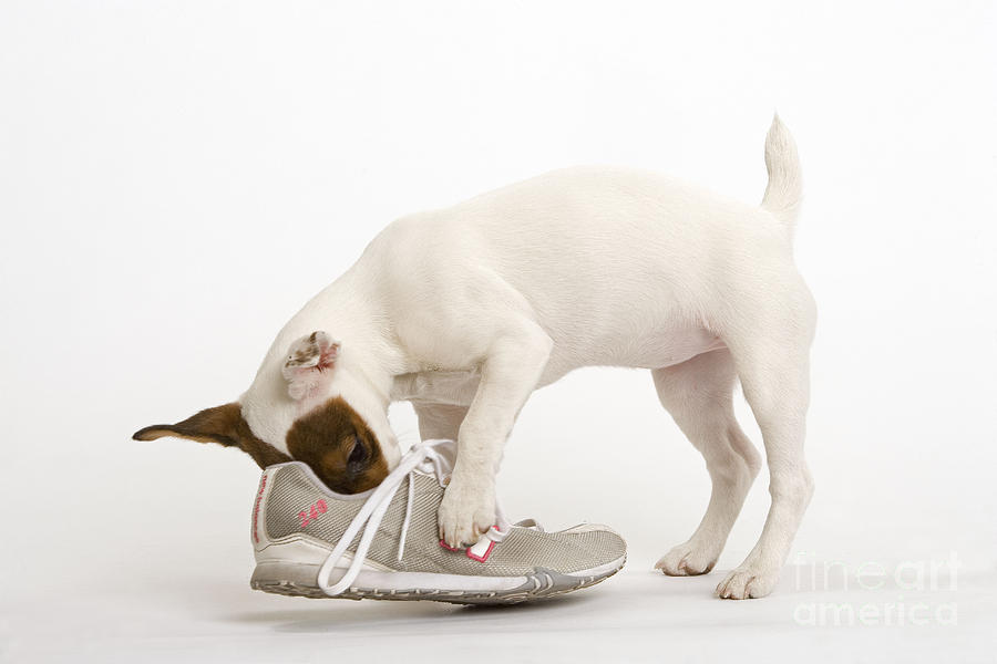 Dog Photograph - Jack Russell With Sneaker by Jean-Michel Labat