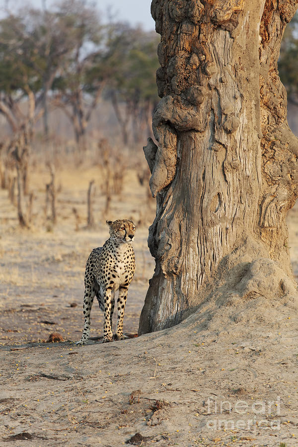 Africa Photograph - Jaguar In Hwange National Park by BC Imaging