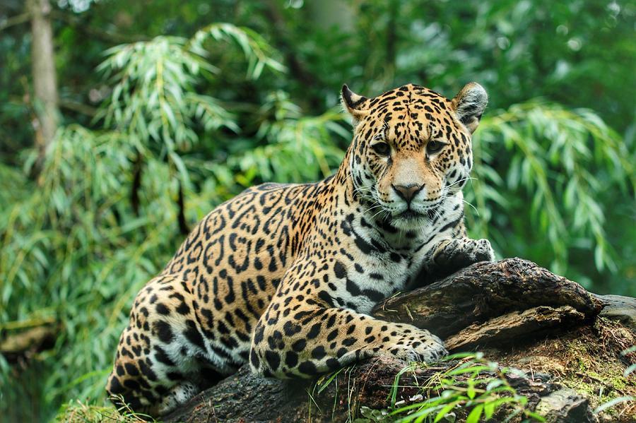 Jaguar Lying On Wood In Forest Photograph by Arjo Van Timmeren / EyeEm