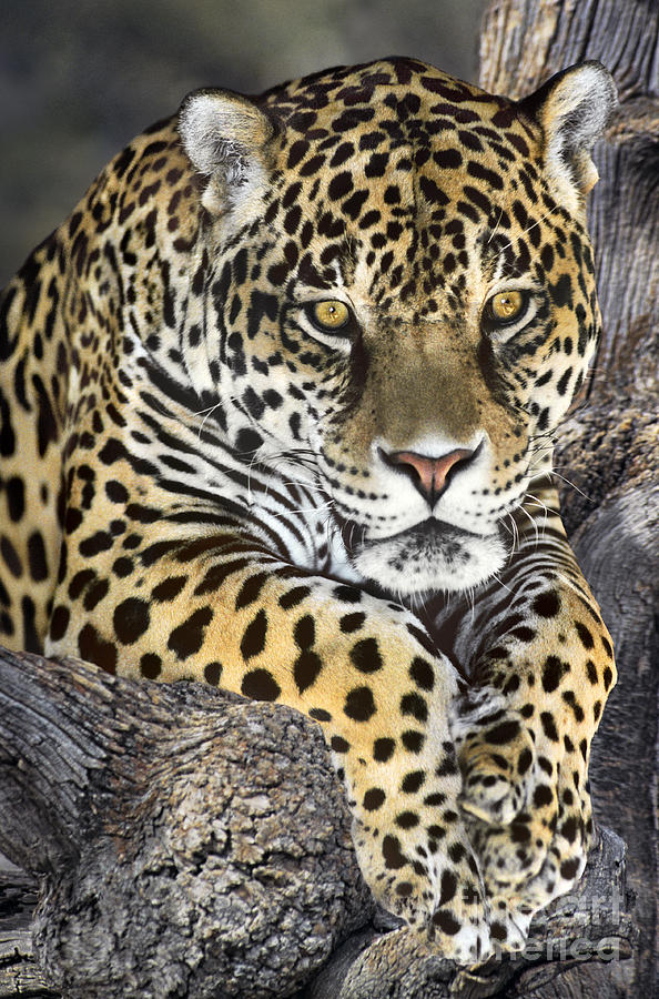 Jaguar Portrait Wildlife Rescue Photograph by Dave Welling - photo#40