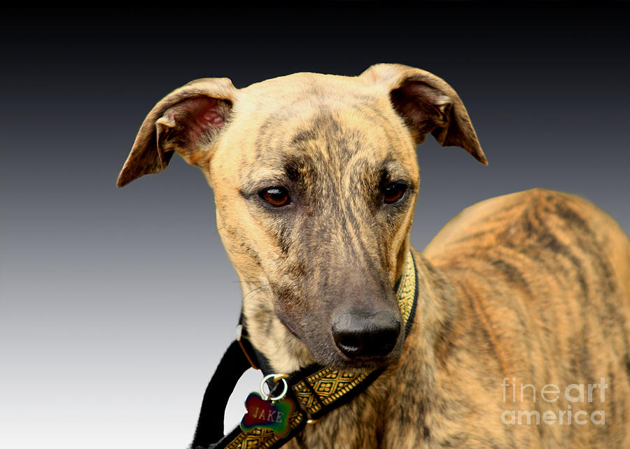 Brindle Photograph - Jake by Linsey Williams