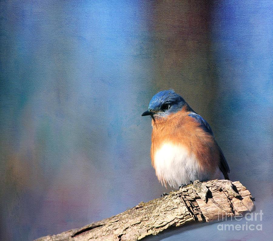 Nature Photograph - January Bluebird by Olivia Hardwicke