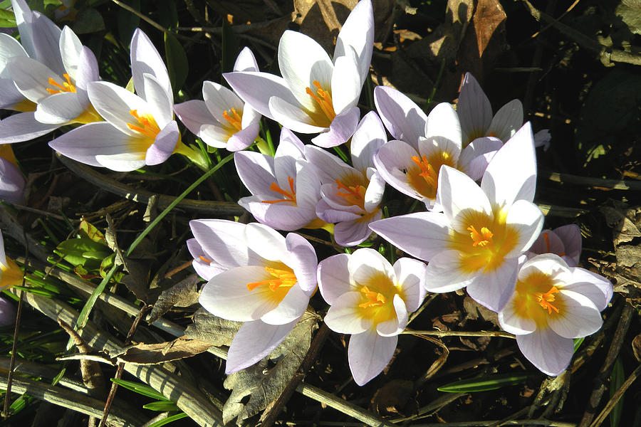 Crocus Photograph - January Crocuses by Brian Chase