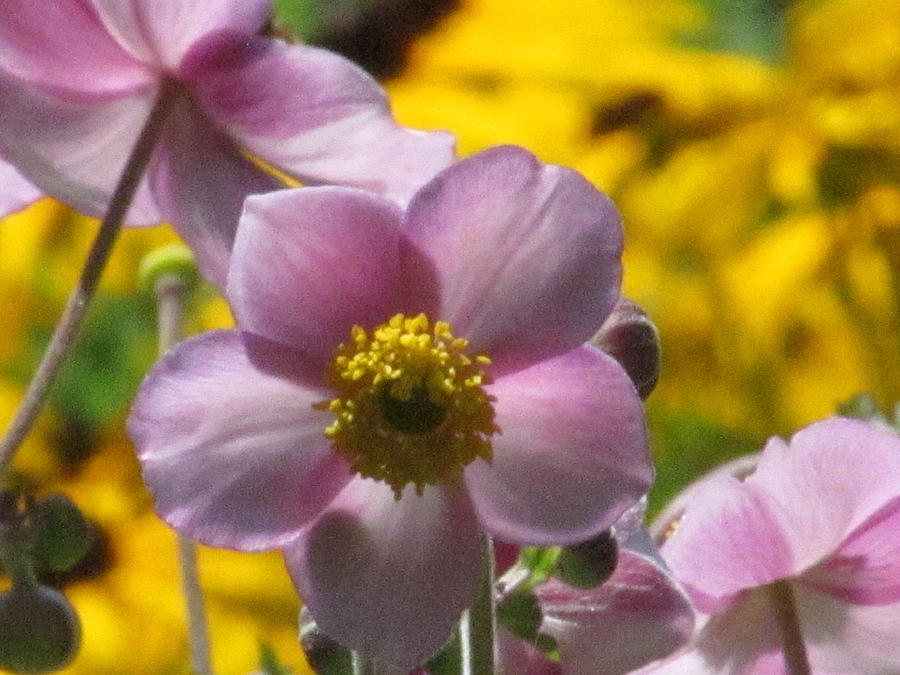 Japanese Anemone Photograph - Japanese Anemone by Alfred Ng