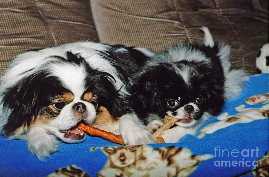 Japanese Chins Photograph - Japanese Chin Dogs Hanging Out by Jim Fitzpatrick