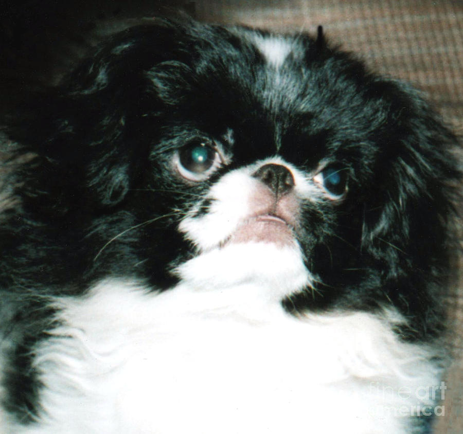 Japanese Chins Photograph - Japanese Chin Puppy Portrait by Jim Fitzpatrick