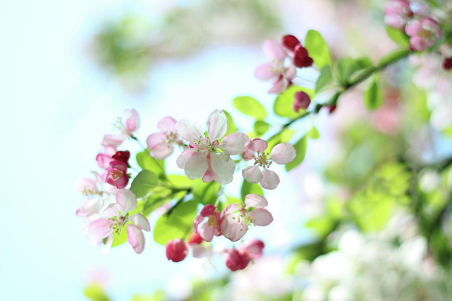 Japanese Crabapple Blossom Photograph by Alyson Fennell Photography