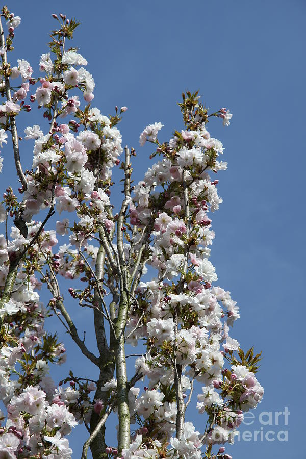 Japanese Flowering Cherry Twigs Photograph By Christiane Schulze