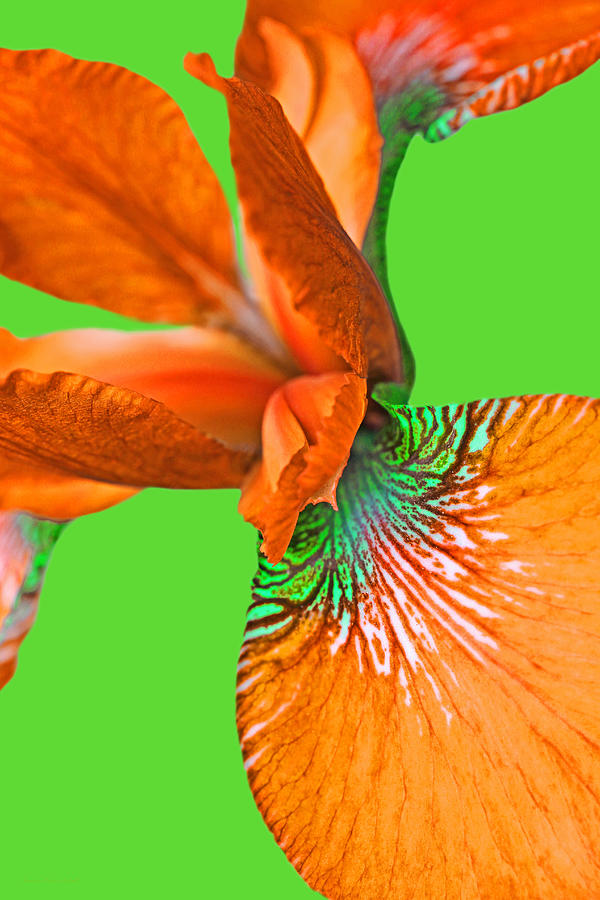 Japanese Iris Orange Green Two Photograph
