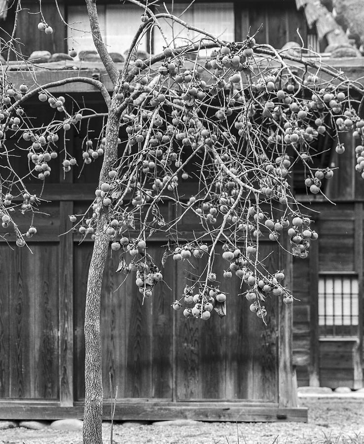 Japan Photograph - Japanese Kaki Tree  Persimmons by Ronald Steiner