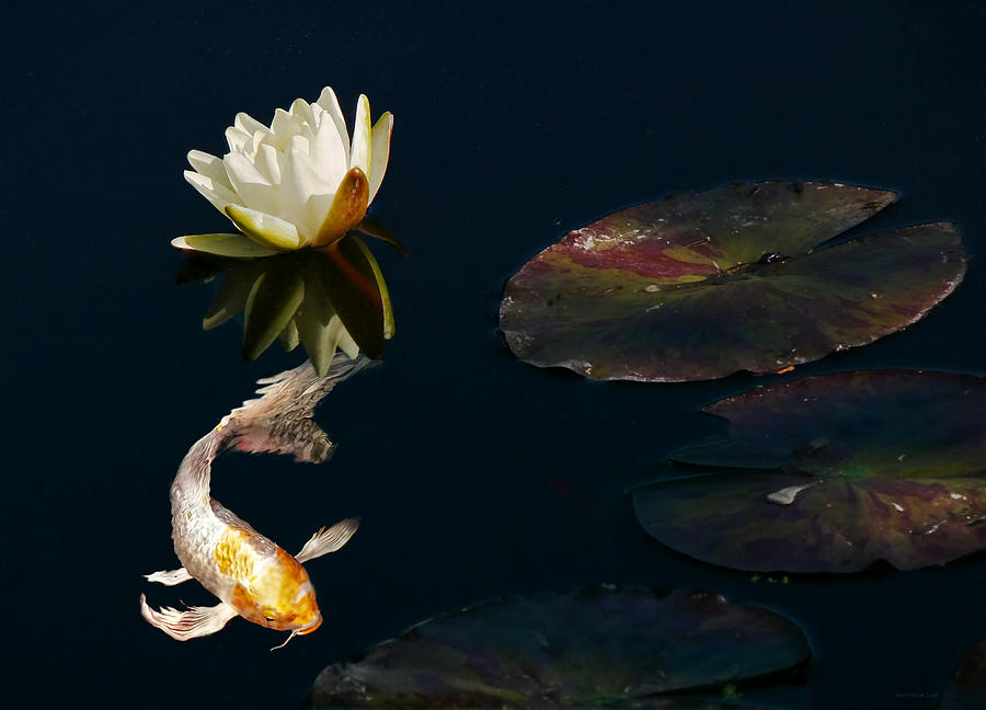 Japanese koi fish and water lily flower photograph by for American koi fish