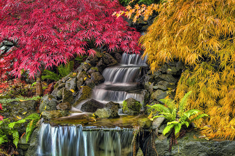 Japanese Photograph - Japanese Laced Leaf Maple Trees In The Fall by David Gn