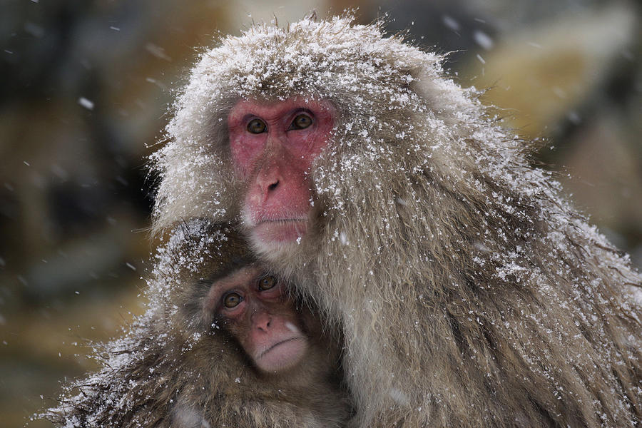 Japanese Macaque And Baby In Snow Japan Photograph by Hiroya Minakuchi