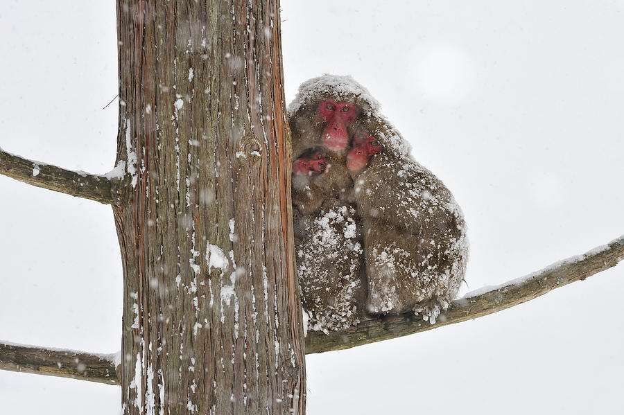 Japanese Macaque Mother With Young Photograph by Thomas Marent