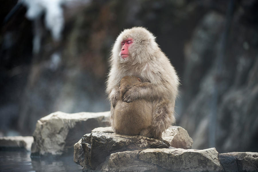 Adaptation Photograph - Japanese Macaque With Young by Dr P. Marazzi