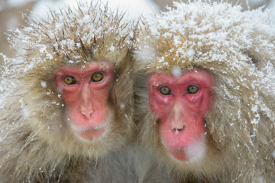Adaptation Photograph - Japanese Macaques by Dr P. Marazzi