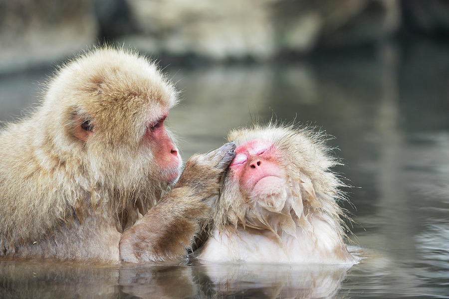 Adaptation Photograph - Japanese Macaques Grooming by Dr P. Marazzi