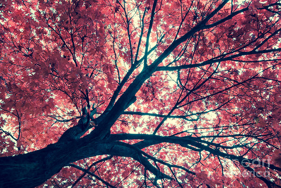 Autumn Photograph - Japanese Maple - Vintage by Hannes Cmarits
