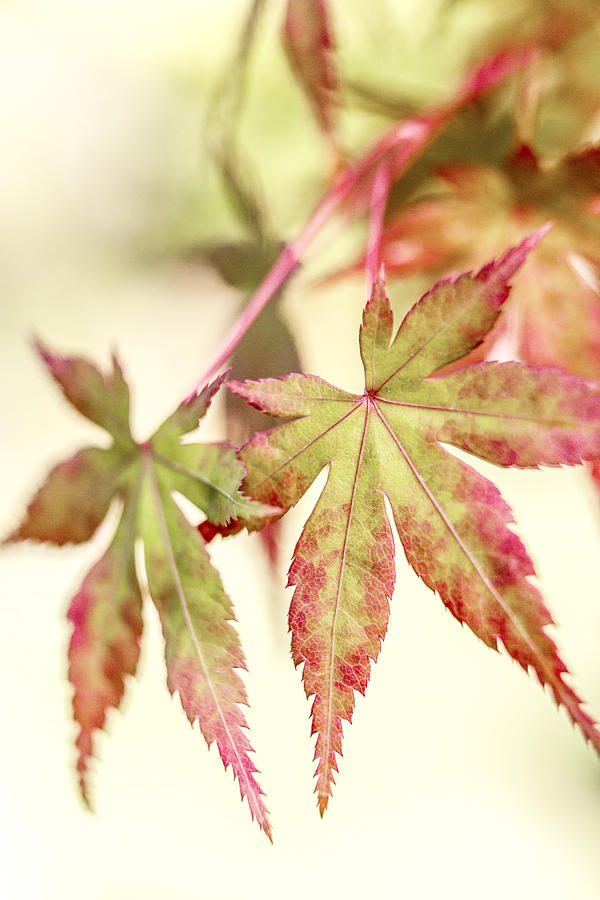 Leaf Photograph - Japanese Maple by Caitlyn  Grasso