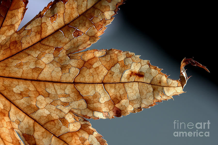 Brown Photograph - Japanese Maple Leaf Brown - 1 by Kenny Glotfelty