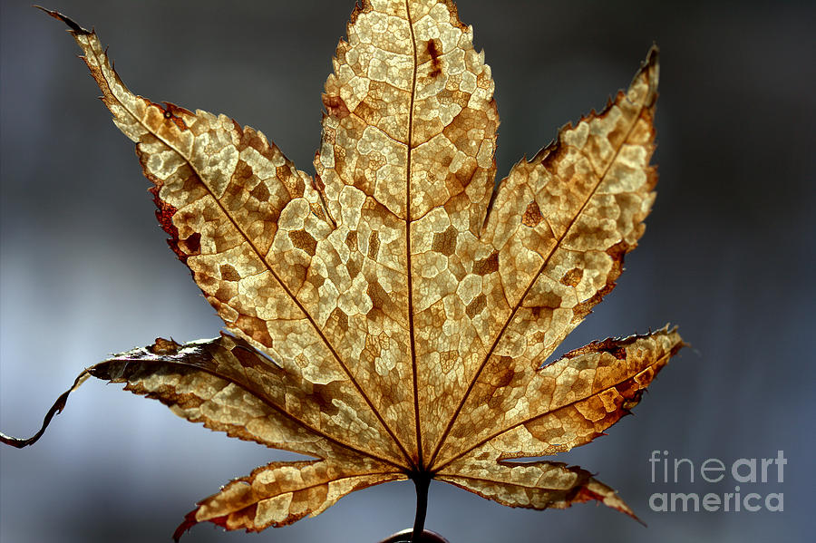 Brown Photograph - Japanese Maple Leaf Brown - 3 by Kenny Glotfelty