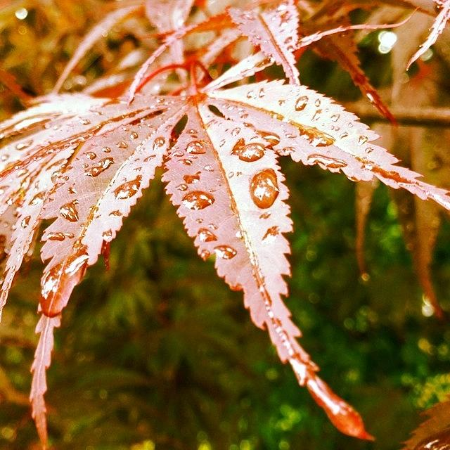 Leaf Photograph - Japanese Maple Leaves by Marianna Mills