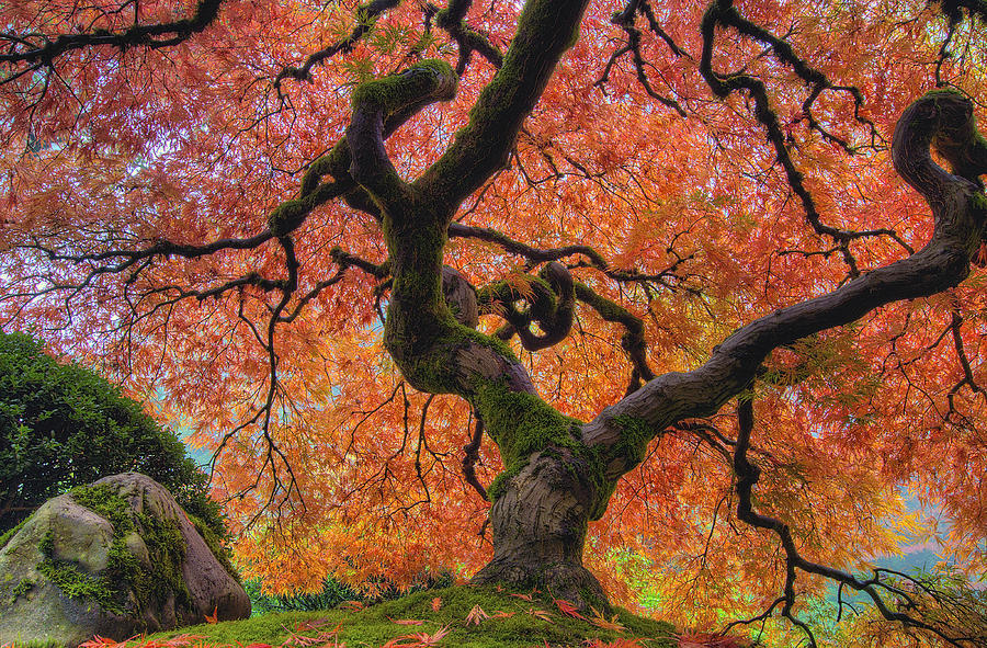 Japanese Photograph - Japanese Maple Tree In Fall by David Gn