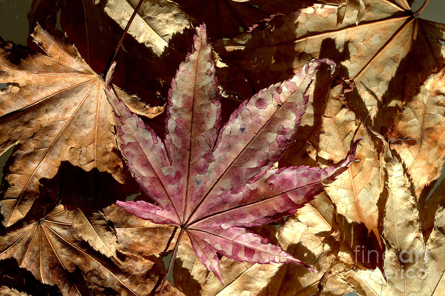 Brown Photograph - Japanese Maple Tree Leaves by Kenny Glotfelty