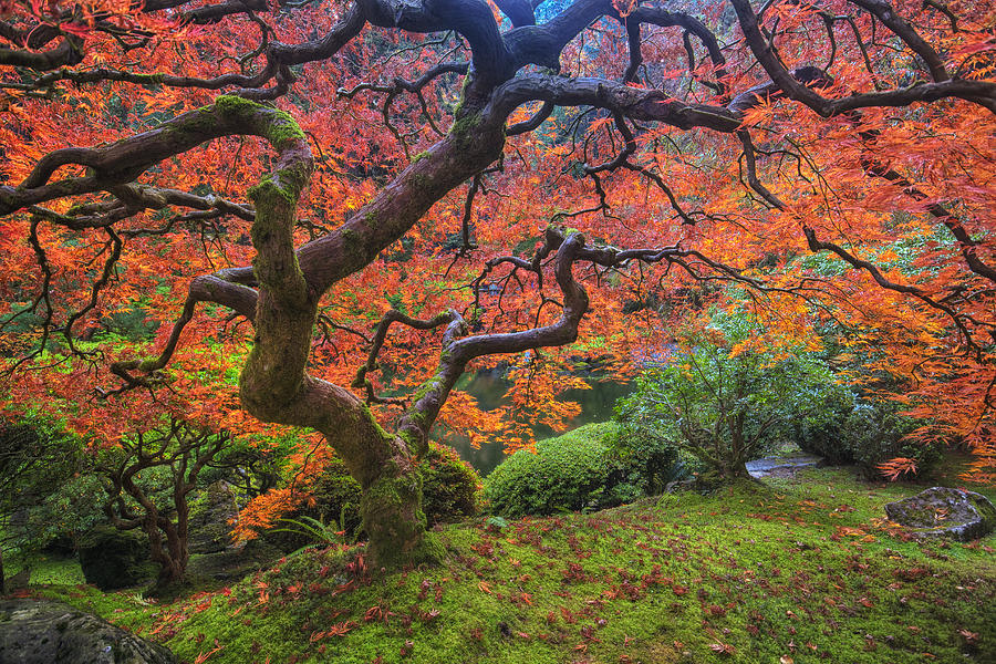Oregon Photograph - Japanese Maple Tree by Mark Kiver