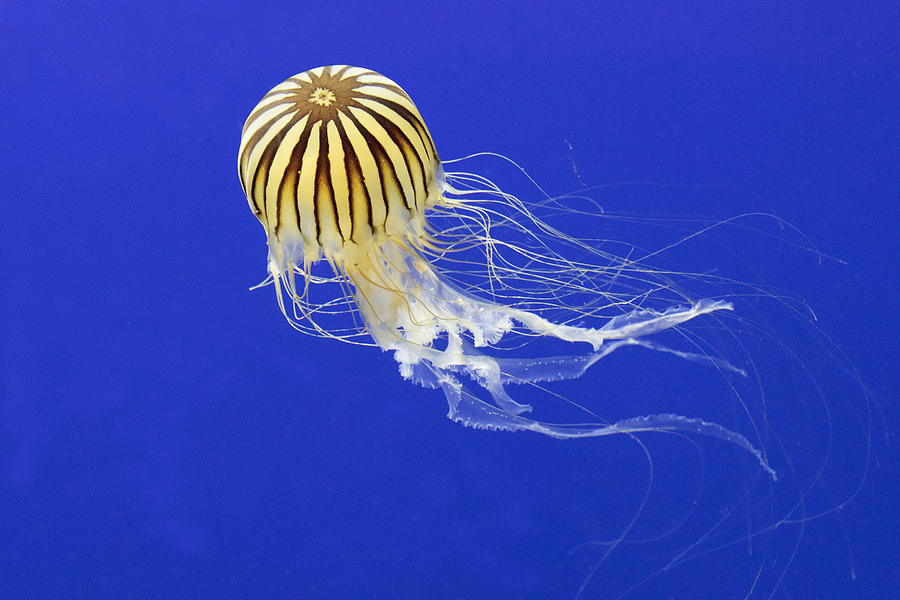 Japanese Sea Nettle Photograph by Hal Beral