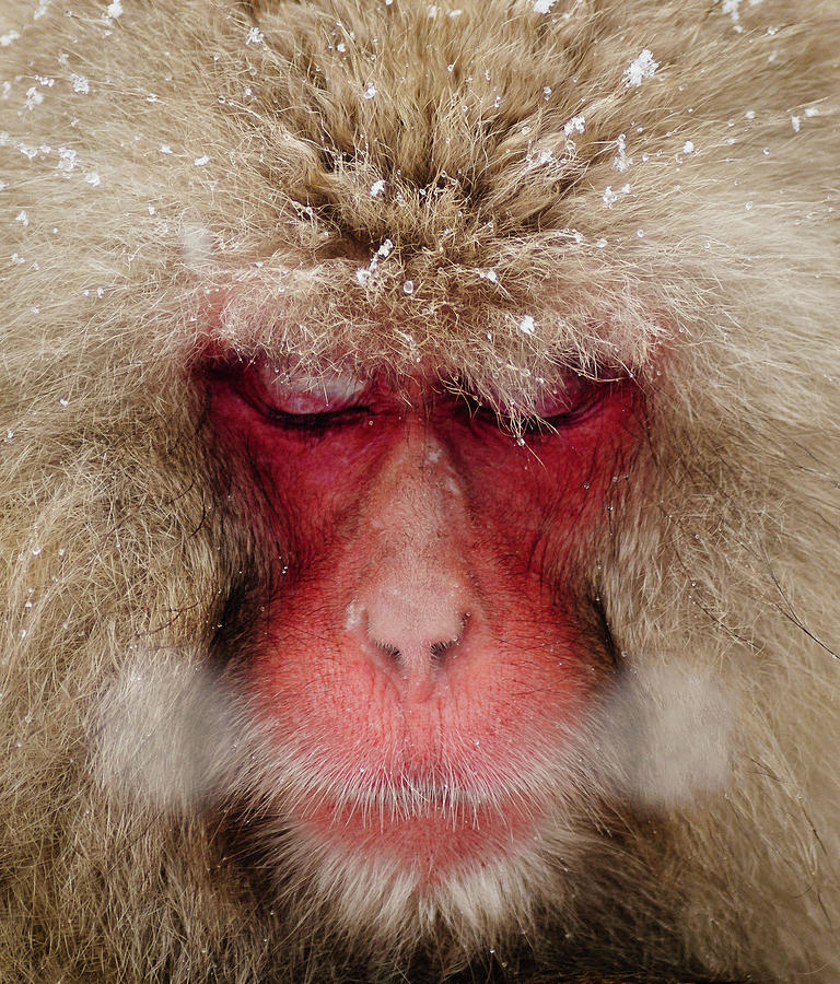Japanese Snow Monkey Breathing In Cold Photograph by Photography By Martin Irwin