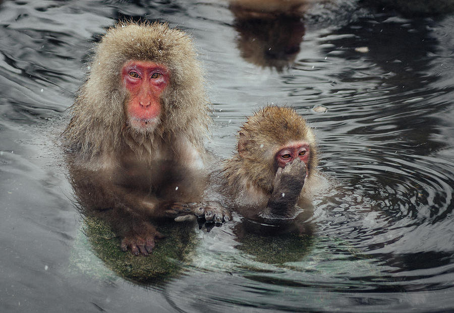 Japanese Snow Monkeys Enjoying The Hot Photograph by Photography By Martin Irwin