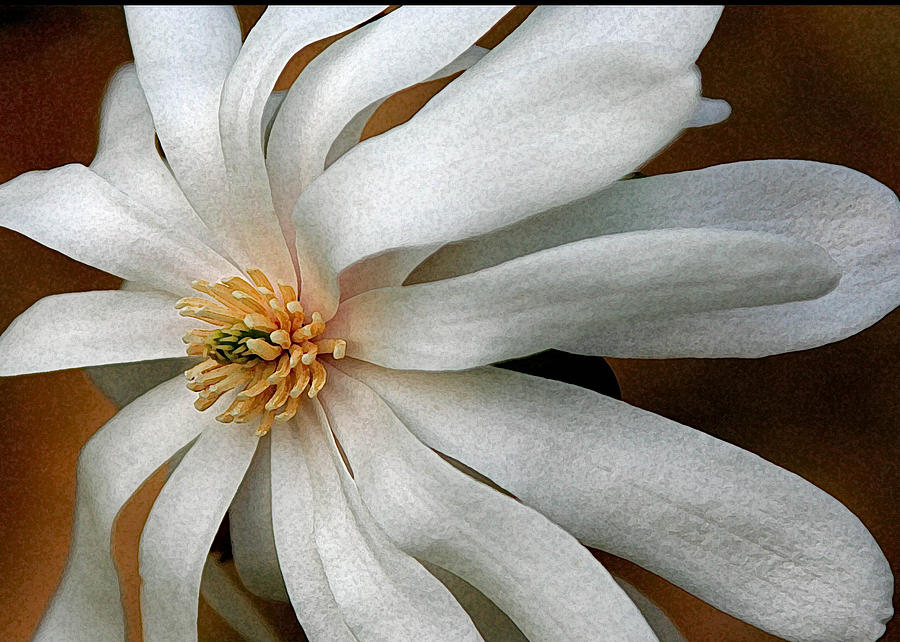 White Flower Photograph - Japanese Tulip 2 by Alan Olansky