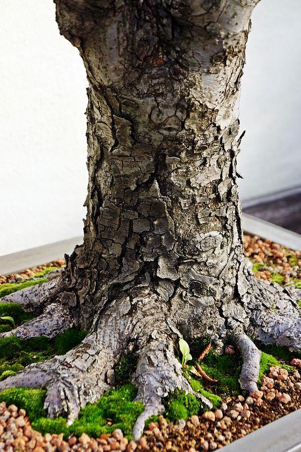 Japanese Zelkova Bonsai Photograph By Cory Dean