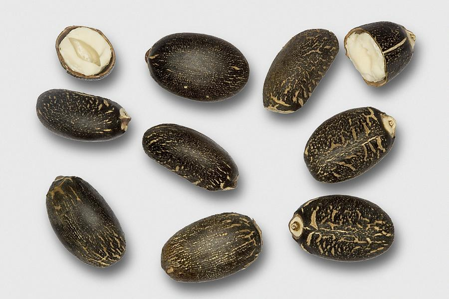 Jatropha Curcas Seeds Photograph by Power And Syred900 x 599 jpeg 79kB