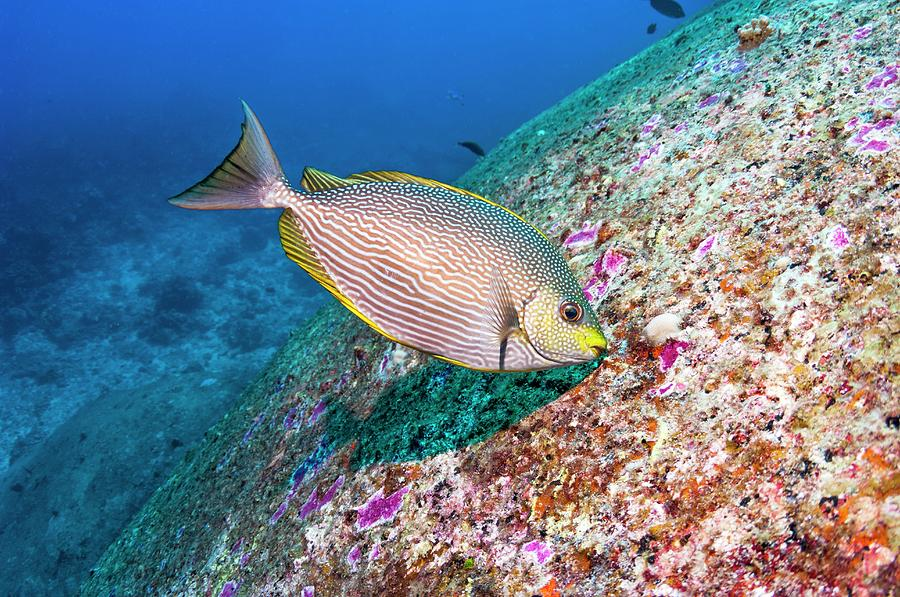 Animal Photograph - Java Rabbitfish Grazing On Algae by Georgette Douwma/science Photo Library