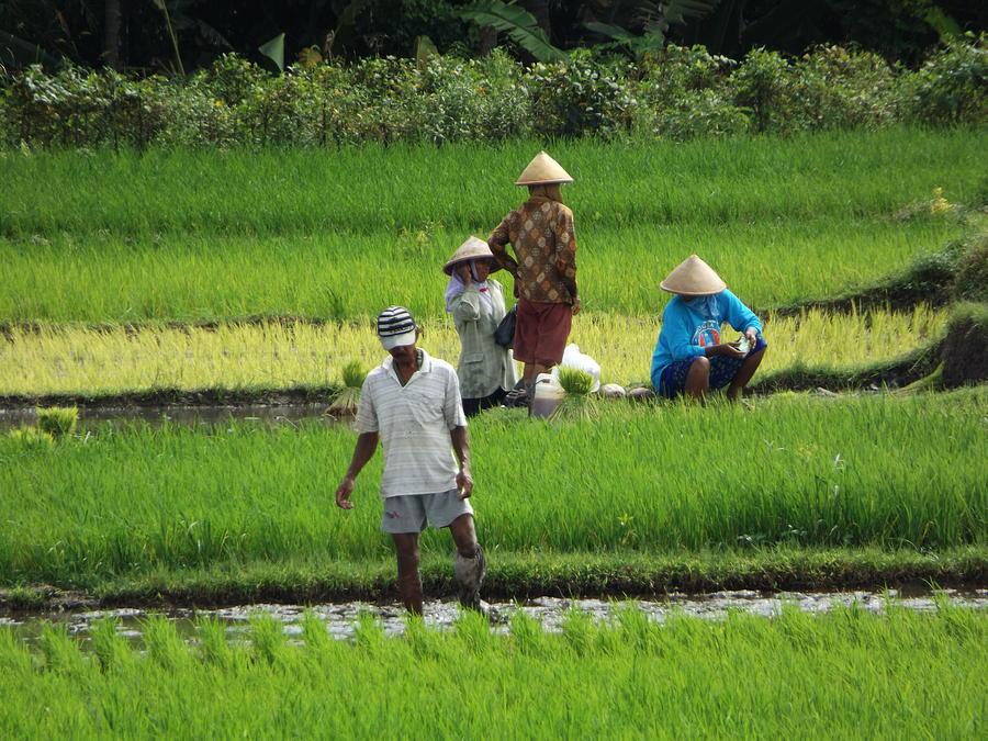 Paddy Field Photograph - Javanese Farmers by Andi ZA