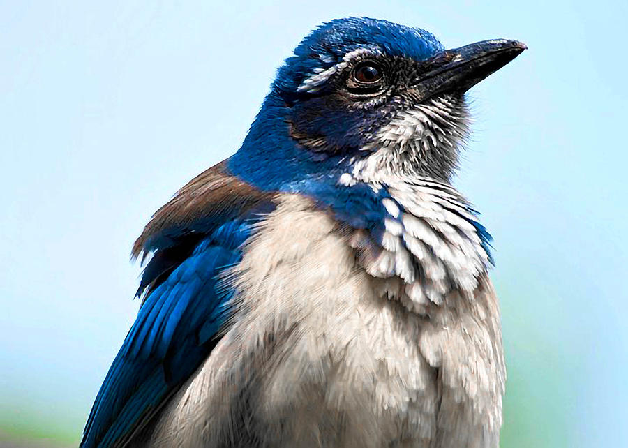 Scrub Photograph - Jay by Camille Lopez