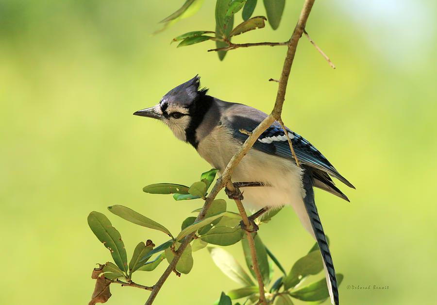Blue Jay Photograph - Jay In Nature by Deborah Benoit