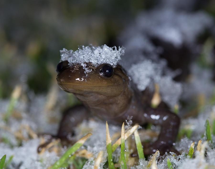 Jefferson Photograph - Jefferson Salamander by Brian Magnier