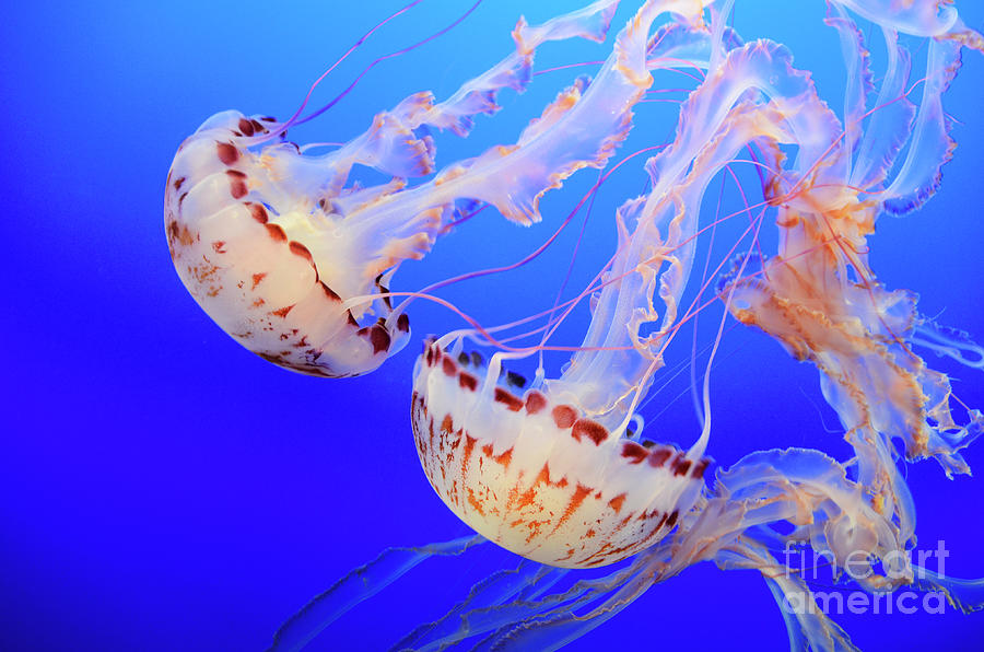 Jellyfish Photograph - Jellyfish 9 by Bob Christopher